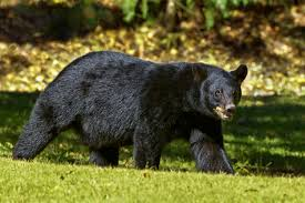 Seventeen Bear Sightings Have Been Reported in the Town of Binghamton So Far This Year