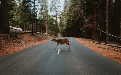 Fire Chief Warns Residents of Excessive Deer Movement. Several Accidents Reported.